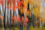 Diane Gamm - Soft Maples photo