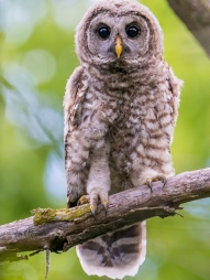 young-barred-owl-by-minnesota-river