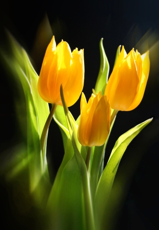 P21 - Yellow Tulips